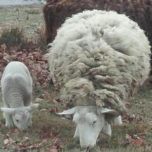 Mama and Lamb