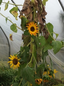 Amy's Sunflower in the Greenhouse