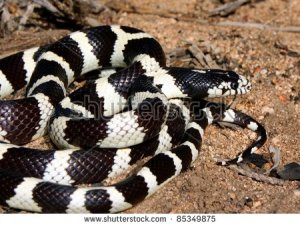 stock-photo-california-kingsnake-king-snake-lampropeltis-getula-californiae-basking-in-the-morning-sun-in-85349875